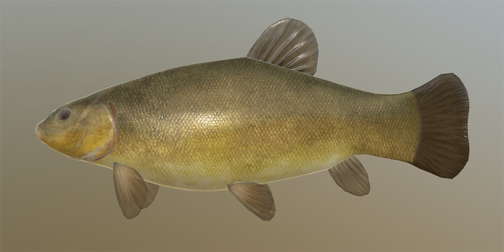 Tench fish species russian fishing 4 for Pond fish species