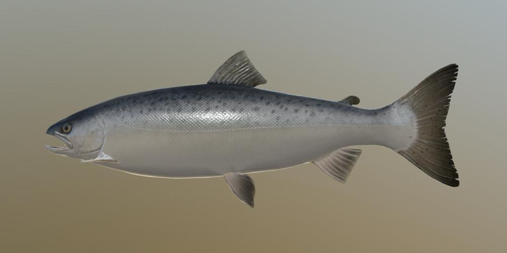 a_salmon_m.thumb.png.d812ac9171012b11c1fb50261f0599bf.png