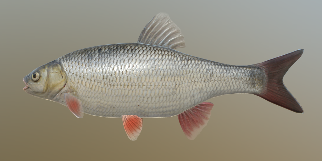 ide - fish species