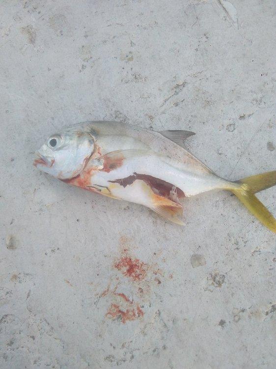 jurelito mordido por barracudo o tiburon.jpg
